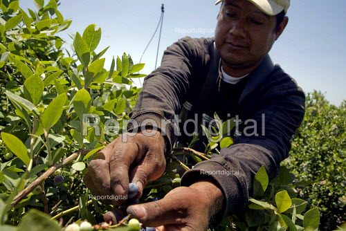 Migrant Mexican farm workers picking blueberries in a field near Dinuba, San Joaquin Valley, California, USA Workers are paid by 8 for each 12 pound bucket they pick. - David Bacon - 2012-05-24