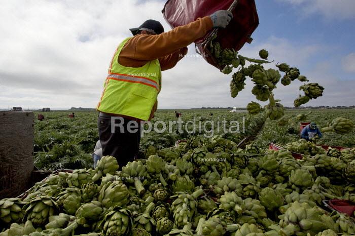 Castroville- The Artichoke Center of the World.. California. Migrant farmworkers harvesting artichokes. Workers in this crew are immigrants from Mexico. - David Bacon - 2015-02-16