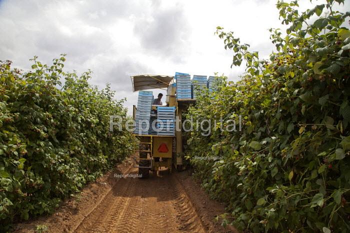 Migrant workers sorting fruit on a harvestor picking raspberries mechanically, Lynden, Washington USA - David Bacon - 2015-07-12