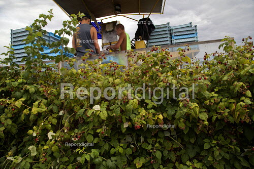 Teenagers sorting fruit on a harvestor picking raspberries mechanically, Lynden, Washington USA - David Bacon - 2015-07-12