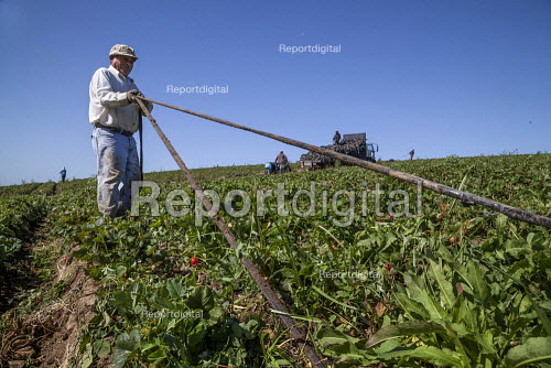California, migrant farmworkers cleaning plastic drip irrigation hoses in a strawberry field - David Bacon - 2015-10-04