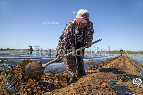 California, migrant farmworkers trimming rows of raised strawberry beds covered with black plastic prior to planting. - David Bacon - 2015-10-04