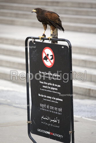A Harris Hawk used to control pigeons in Trafalgar Square, perched on a GLA Do Not Feed The Pigeons sign, London - Duncan Phillips - 2010-04-04