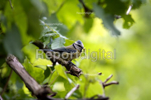 Blue Tit (Parus caeruleus), with caterpillar to feed young - Duncan Phillips - 2009-05-21