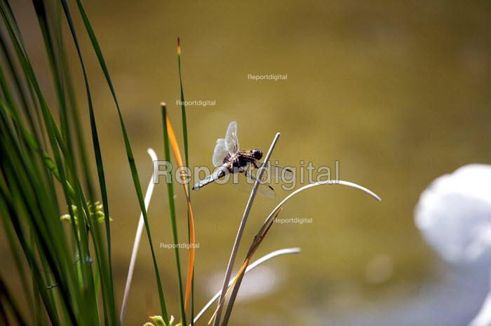 Broad - Bodied Chaser Dragonfly ( Libellula depressa) - Duncan Phillips - 2009-05-21
