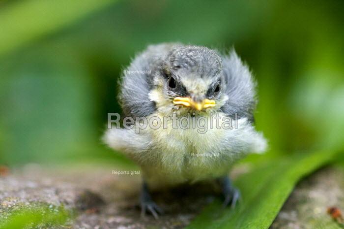 Fledgling Blue Tit (Parus caeruleus) - Duncan Phillips - 2009-05-21