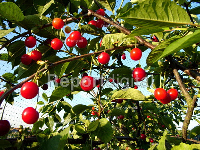 Cherrys on tree - Duncan Phillips - 2005-07-14