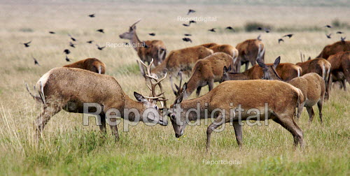 Rutting stags locking horns, Richmond Park, London. Site of Special Scientific Interest (SSSI) - Duncan Phillips - 2007-10-24