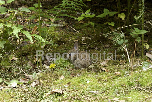 Urban Wildlife, baby Rabbit, North London - Duncan Phillips - 2009-06-13