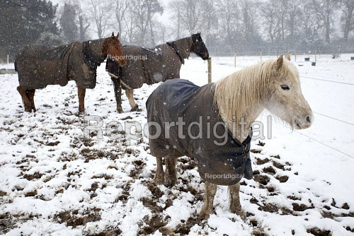 Horses in a field on a stud farm in winter weather, Hertfordshire UK - Duncan Phillips - 2013-03-23