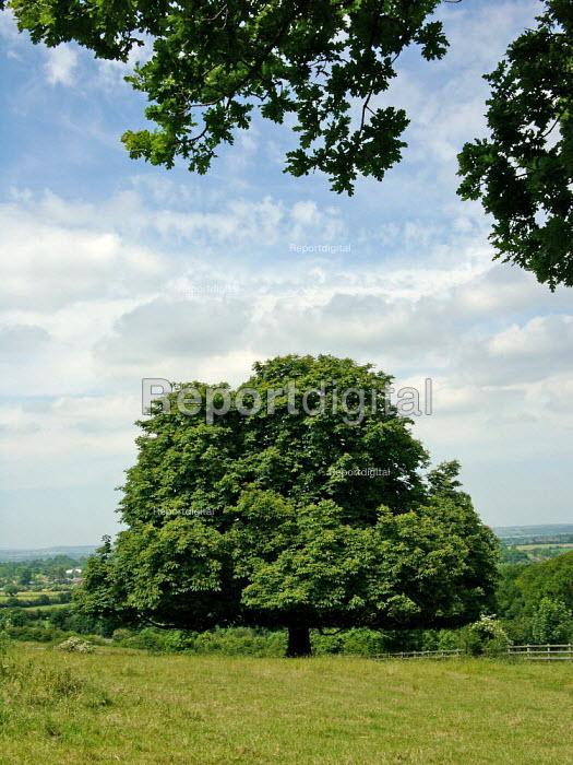 Oak Tree on Part of the Ridgeway long distance footpath, Chiltern hills - Duncan Phillips - 2005-06-23