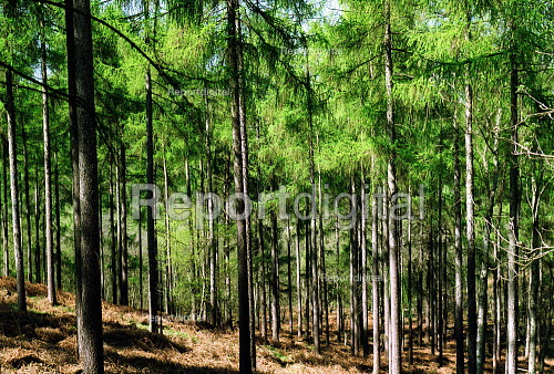 Pine Trees Leigh Hill Surrey. - Duncan Phillips - 2003-04-17