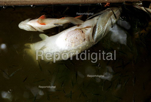 Poisoned Fish in a tributary to the River Lea. London - Duncan Phillips - 2001-10-18