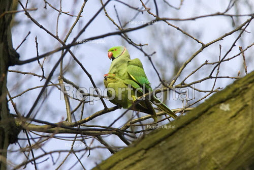 Breeding pair of ring necked parakeets, part of an established colony, Hampstead Heath, London - Duncan Phillips - 2006-04-06