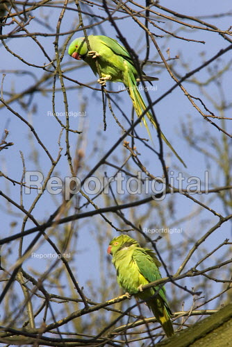 Breeding pair of ring necked parakeets, part of an established colony , Hampstead Heath, London - Duncan Phillips - 2006-04-06