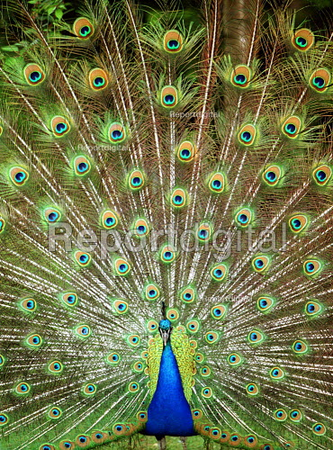 Peacock displaying its feathers - Duncan Phillips - 2003-08-13