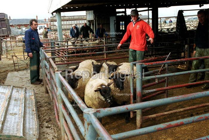 Farm hand moving sheep at market sale. Stratford on Avon. - John Harris - 2000-05-02