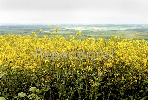 Field of oil seed rape near Chipping Campden as Advanta Seeds UK admitted that hundreds of farms unknowingly planted genetically modified rapeseed which could lead to widespread contamination of crops. - John Harris - 2000-05-20