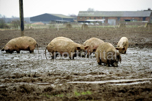 Pigs outside in mud on a pig farm. - John Harris - 2001-02-11