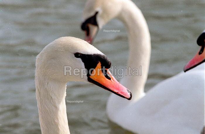 Mute swan on the river Avon. - John Harris - 2001-03-06