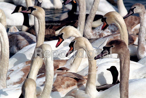 Mute swans on the river Avon. - John Harris - 2001-03-06