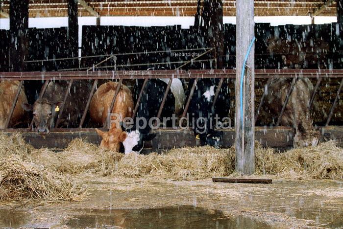 Rain as cows eat hay in a cow shead on a farm. - John Harris - 2001-03-28