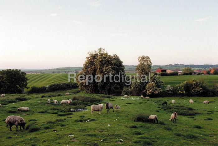 Sheep grazing on green pasture on a farm in Warwickshire. - John Harris - 2001-06-08