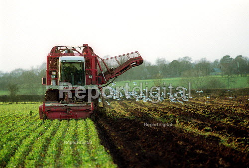 Beetroot harvester digging up the root vegetable up from a field on a farm in Warwickshire - John Harris - 2003-02-03