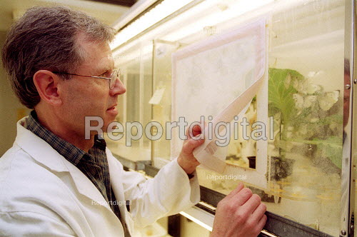 Scientist at Horticulture Research International in the insect rearing unit with the Cabbage White Butterfly Pieris Brassicae eating cabbages. HRI Wellesbourne, Warwickshire - John Harris - 2003-04-13