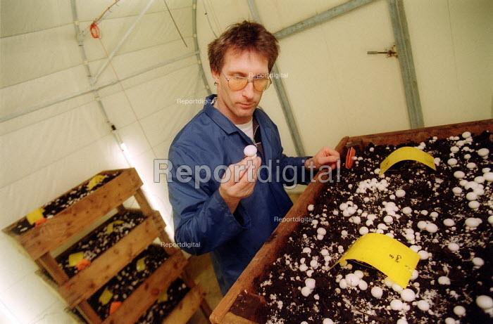 Scientist at Horticulture Research International examining mushrooms. HRI Wellesbourne, Warwickshire - John Harris - 2003-04-13