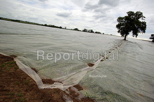 Crops coverd in plastic sheeting to protect and encourage growth. Warwickshire. - John Harris - 2003-06-05