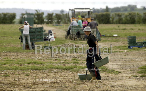 Agricultural workers harvesting spring onions on a farm in Warwickshire. - John Harris - 2003-06-08