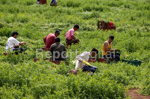 Pea pickers working on a farm in Warwickshire. They are run by gangmasters. - John Harris - 2003-08-20