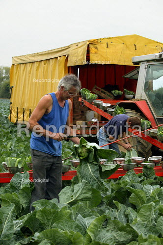 Farmworkers harvesting cauliflowers, cutting and trimming off the leaves and putting them on a production line to be boxed in the trailer. Farm in the Cotswolds. - John Harris - 2003-09-03