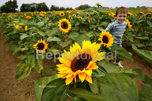 Child running through a field of sunflowers on a farm in the Cotswolds. - John Harris - 2003-09-03