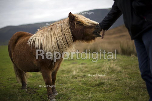 Wild, friendly ponies in the Devil's Valley or Nant yr Eira Valley. Snowdonia National Park. Wales. - Jess Hurd - 2014-10-29