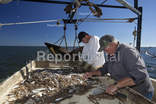 Mobile, Alabama - A shrimp trawler on Mobile Bay. Jackie Schwartz and Darrell Goleman sort shrimp from the bycatch. The trawler is part of the Alabama Fisheries Cooperative. - Jim West - 2012-11-08
