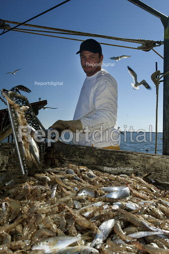 Mobile, Alabama - A shrimp trawler on Mobile Bay. Darrell Goleman loads the catch on a sorting table, where non-shrimp are removed. The trawler is part of the Alabama Fisheries Cooperative. - Jim West - 2012-11-08