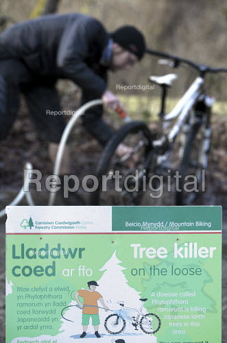 Afan forest, South Wales. Phytophthora ramorum - a devastating fungal pathogen - is causing widespread damage to trees in the UK. Mountain bikers wash their bikes to prevent the spread of the fungus. - Paul Box - 2011-02-15