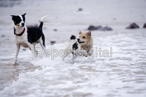 Dogs playing in the water at Freshwater West, Pembrokeshire. - Paul Box - 2009-03-08