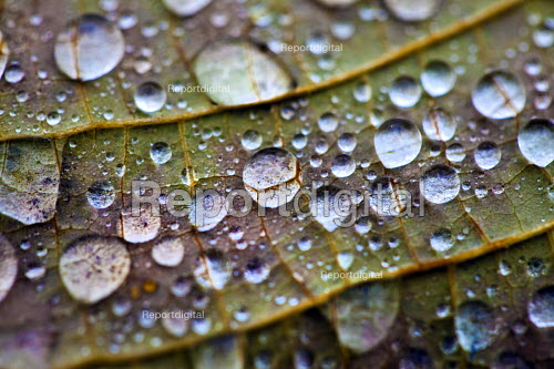 Water droplets. Autumn leaves, Westonbirt Arboretum, Forestry Commission, Wiltshire. - Paul Box - 2012-11-08