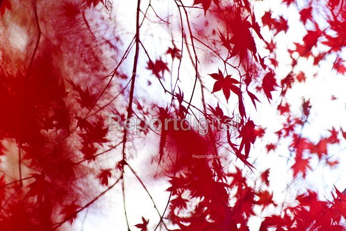 Autumn leaves, Westonbirt Arboretum, Forestry Commission, Wiltshire. - Paul Box - 2012-11-08
