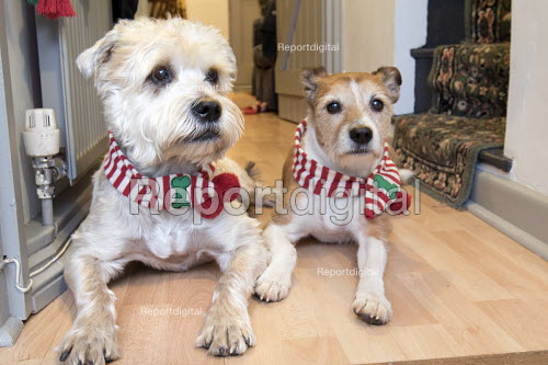 Two dogs with their christmas scarfs, Somerset. - Paul Box - 2014-12-31