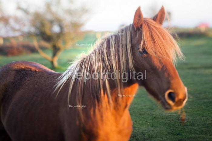 Herd of Exmoor ponies. Hilltop ponies on The Quantock Hills, Somerset. - Paul Box - 2014-11-18