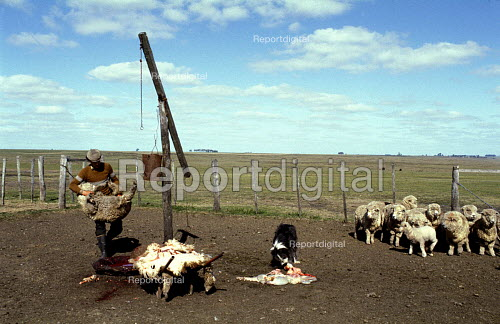 A Gaucho carries a Sheep which is about to be Slaughtered and Skinned on an Estancia in Uruguay. - Paul Mattsson - 1983-08-26