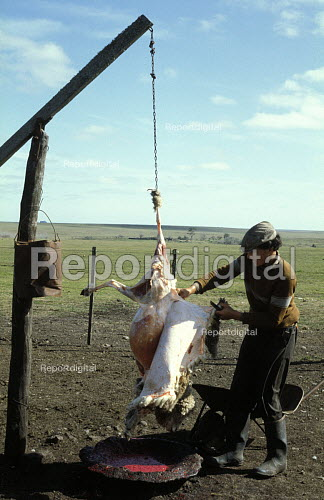 A Gaucho Skins a Sheep which has just been Slaughtered on an Estancia in Uruguay. - Paul Mattsson - 1983-08-26