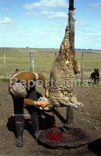 A Gaucho Slaughters a Sheep by sticking a Knife into its Neck on an Estancia in Uruguay. - Paul Mattsson - 1983-08-26