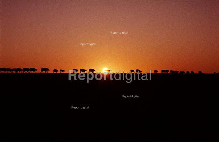 Cattle walk into the Winter Sunset on an Estancia in Uruguay. - Paul Mattsson - 1983-07-26