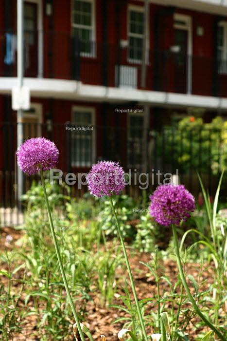 Allium flowers on housing estate. London - Joanne O'Brien - 2004-05-24