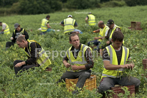 Romanian and Bulgarian migrant workers harvesting broad beans, Warwickshire - John Harris - 2016-06-23
